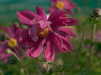 Anemone - Herbst-Anemone