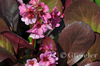 Bergenia Hybride 'Pink Dragonfly'