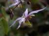 Epimedium x  'Asiatic Hybrid'