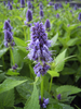 Agastache Hybride 'Blue Fortune'