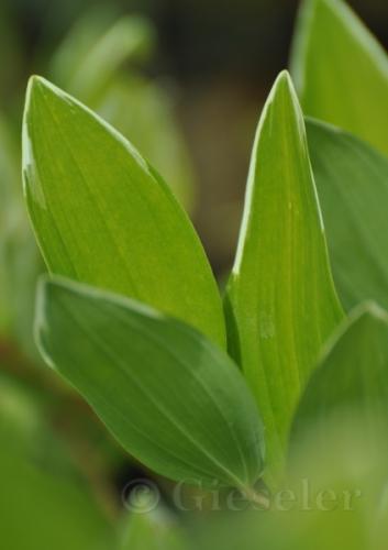 Polygonatum odoratum var  pluriflorum 'Variegatum'