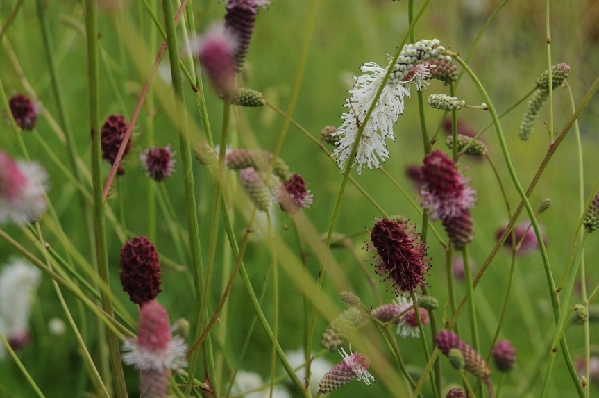 Sanguisorba_mix
