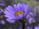 Aster - Herbst-Aster