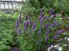 Agastache x 'Purple Haze'