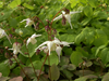Epimedium grandiflorum 'Elfenkönigin'