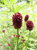 Sanguisorba Hybride 'Red Thunder'