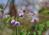 Thalictrum x 'Splendide'(S)