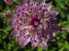 Astrantia major 'Rosa Sämling'
