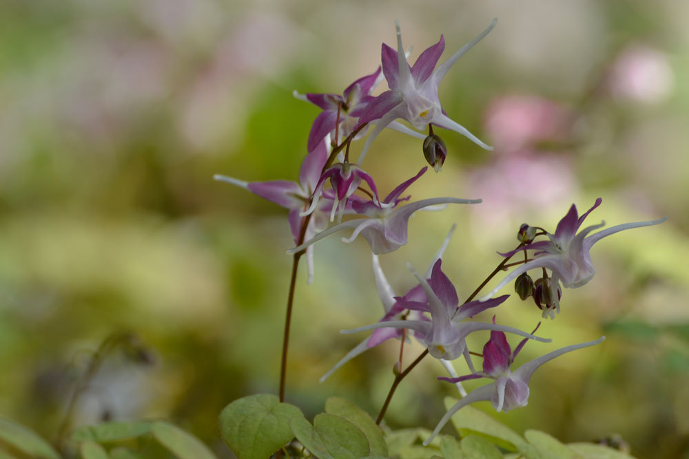 Epimedium__grandiflorum_Chris_Norton_web