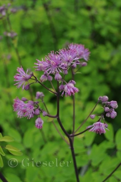 Thalictrum aquilegifolium 'Black Stockings'
